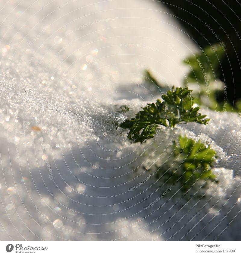 Tiefkühlgemüse Petersilie Schnee Eis Winter Gemüse gefroren grün Ernährung Ernte Lebensmittel tiefkühlgemüse wintereinbruch anpflanzen