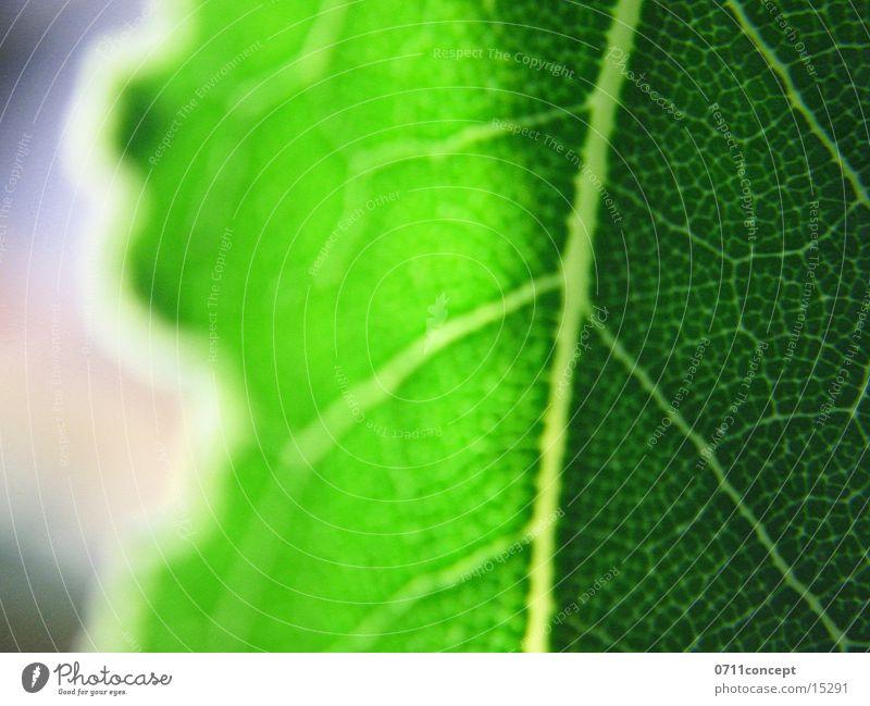 Blatt Sonne grün Pflanze glänzend