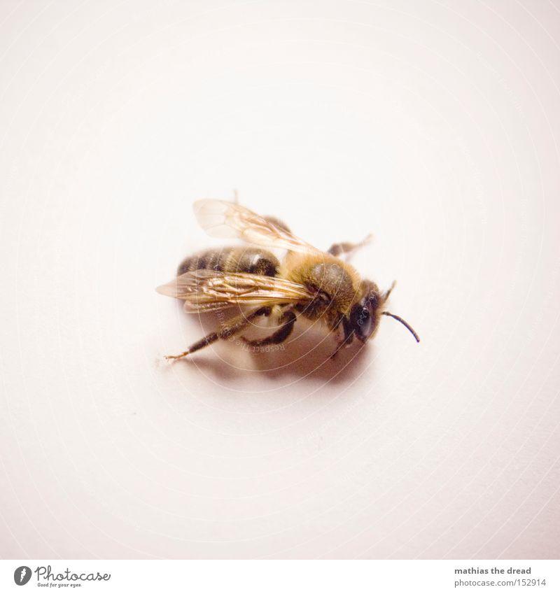 SUM SUM SUM Biene Honig Frieden Insekt Lebewesen klein fliegen Flügel Maja Fühler Fell Imker Blume Nektar Blüte Makroaufnahme Nahaufnahme friedlich Luftverkehr