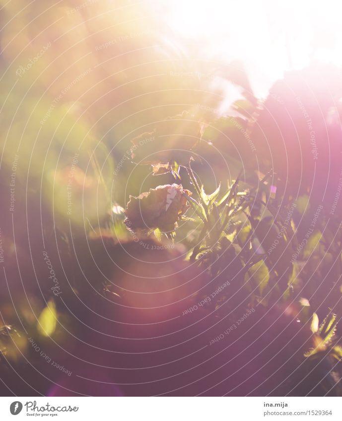 Die vorerst letzten Sommerstrahlen Umwelt Natur Pflanze Sonne Sonnenaufgang Sonnenuntergang Sonnenlicht Frühling Herbst Blume Sträucher Rose Nutzpflanze Garten