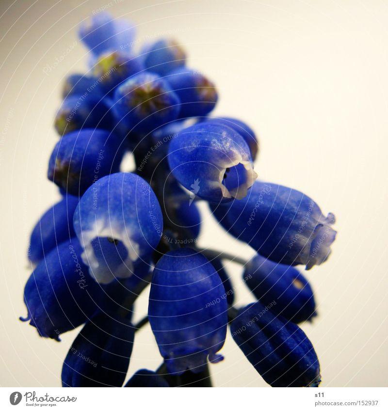Hope For Spring Hyazinthe Blume blau Frühling Traubenhyazinthe Makroaufnahme Knollengewächse Natur Pflanze Nahaufnahme Frühlingsbote