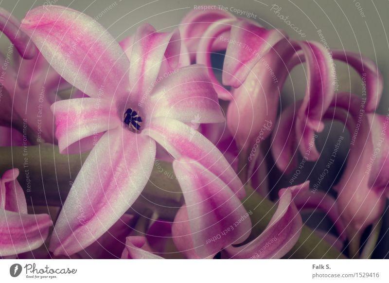 Retroblümchen Pflanze Frühling Blume Blüte Grünpflanze Hyazinthe Stengel Blühend Duft verblüht Wachstum frisch schön Kitsch natürlich retro grün rosa weiß