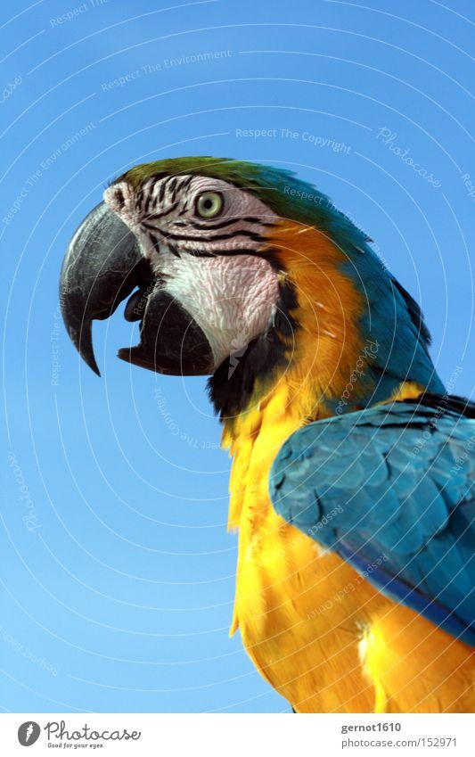 Beisser 1 blau gelb schwarz Vogel Papageienvogel Schnabel fliegen klug sprechen Auge Feder Freude Südamerika Krummschnabel Picken Luftverkehr Krächzen