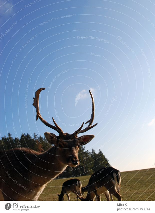 Einfach ins Bild gelaufen Farbfoto Außenaufnahme Winter Tier Wiese Wald Wildtier grün Hirsche Reh Rentier Horn Säugetier Rudi Tag