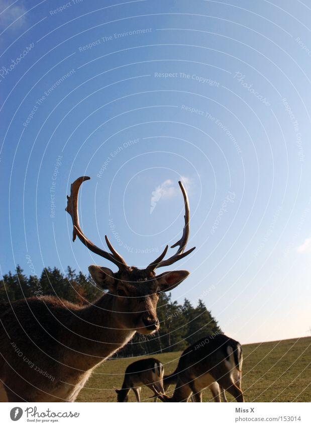 Einfach ins Bild gelaufen grün Winter Tier Wald Wiese Wildtier Säugetier Horn Hirsche Reh Rentier