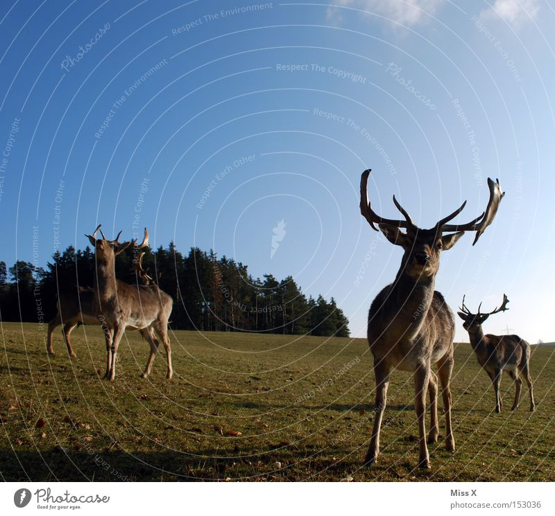 Rudi wünscht oah gsunds neis Farbfoto Außenaufnahme Winter Tier Wiese Wald Wildtier grün Hirsche Reh Rentier Horn Säugetier