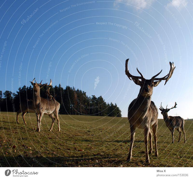 Rudi wünscht oah gsunds neis grün Winter Tier Wald Wiese Wildtier Säugetier Horn Hirsche Reh Rentier