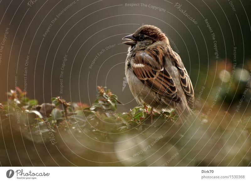 Pariser Spatz! Tier Schönes Wetter Pflanze Sträucher Hecke Garten Park Wildtier Vogel Haussperling Singvögel 1 hocken frech frei klein Neugier niedlich klug