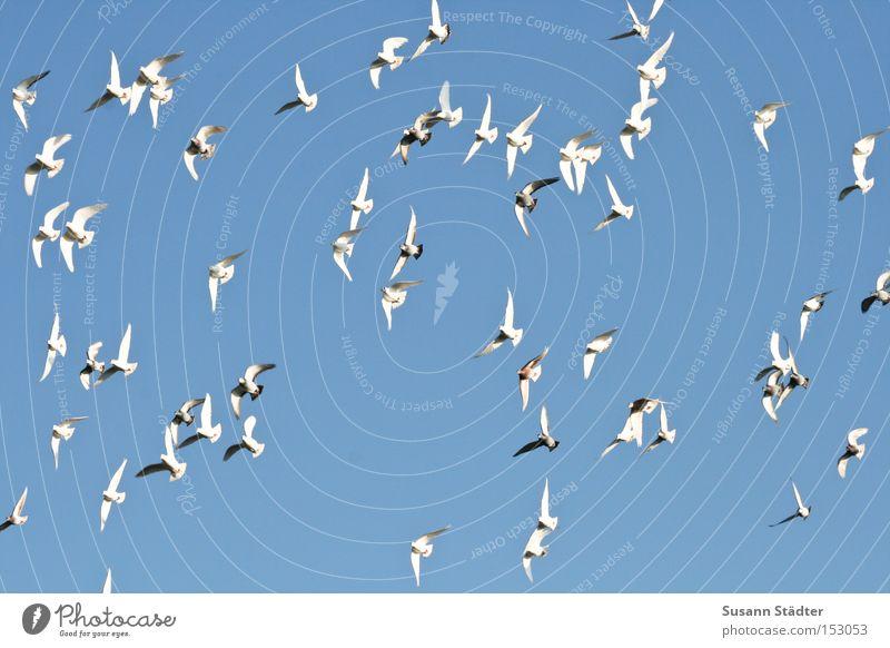 im Sturzflug ins neue Jahr! fliegen Himmel Feder Vogel Taube Tierzucht frei Freiheit eng flattern Flügel Schwanz Rudel Luftverkehr