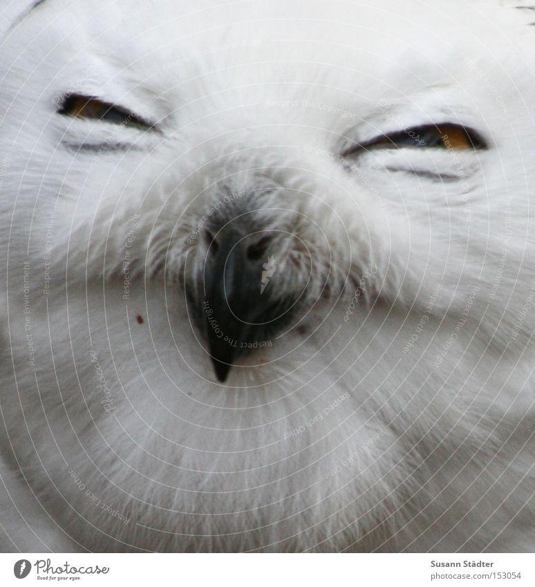 Schneeeulengesicht III Eulenvögel Zoo Auge Greifvogel Feder Fleck weiß Fell Schnabel schwarz gelb Winter kalt Vogel