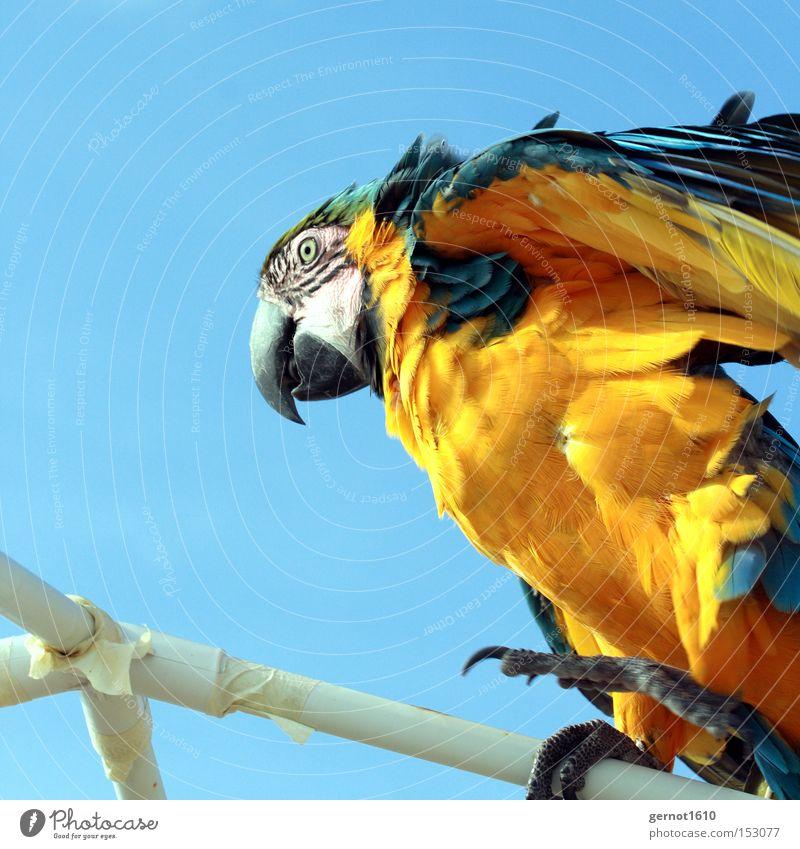 Struwelpeter blau weiß gelb Wind Papageienvogel Feder Klettern strubbelig Auge Schnabel Vogel fliegen Himmel schwarz Krallen Sommer Südamerika Luftverkehr