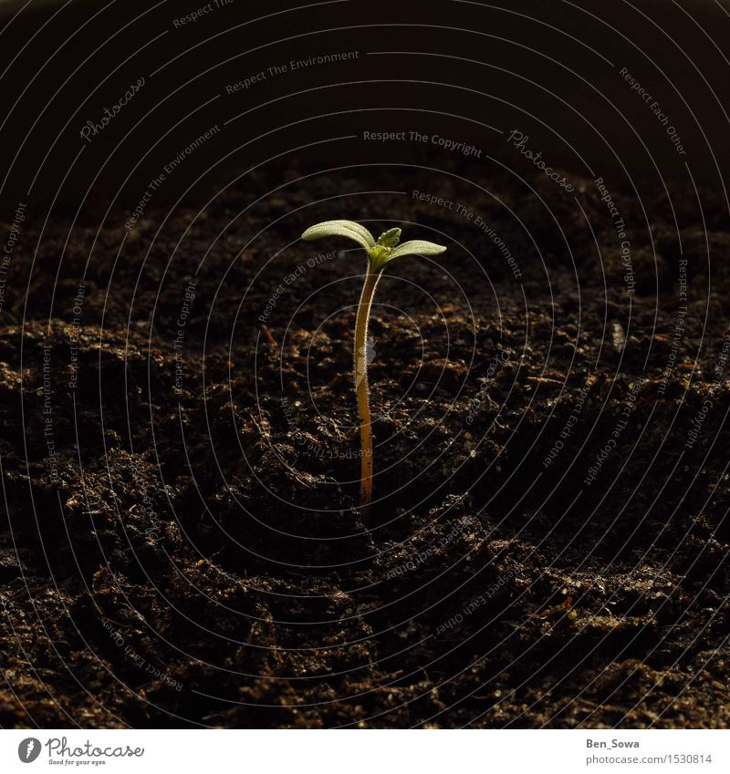 Frühlingserwachen Natur Pflanze Blatt Umwelt Gesundheit Garten Wachstum Erde Blühend Grünpflanze Cannabis Topfpflanze Hanf Cannabisblatt
