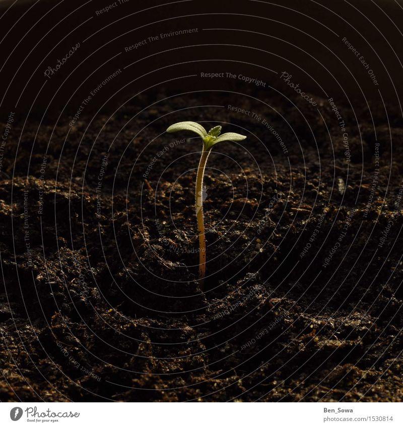 Frühlingserwachen Umwelt Natur Erde Pflanze Hanf Blatt Grünpflanze Topfpflanze Garten Blühend Wachstum Gesundheit Cannabisblatt mehrfarbig Innenaufnahme