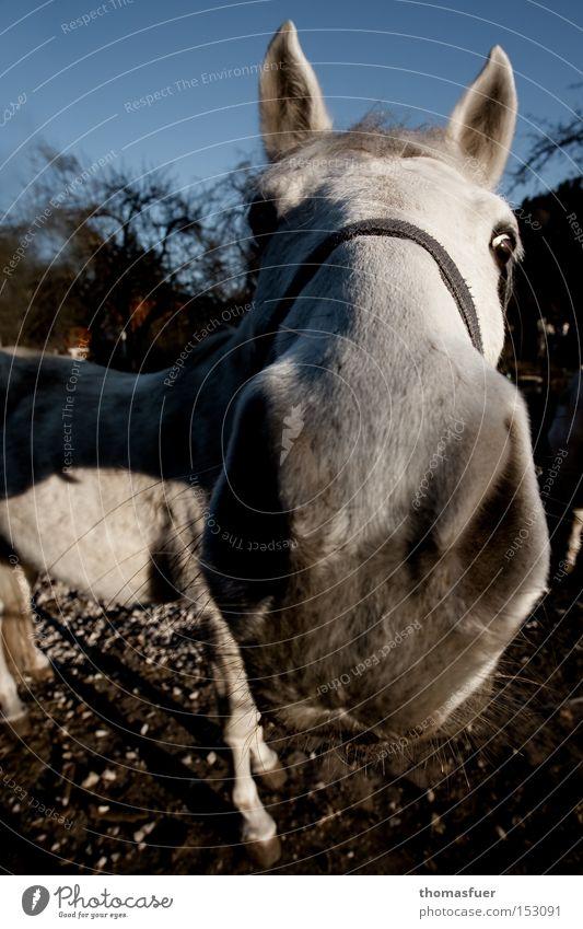 Neugier Nase Pferd Kommunizieren Neugier Konzentration Schimmel Säugetier erstaunt Tier Reiten Landleben Nüstern