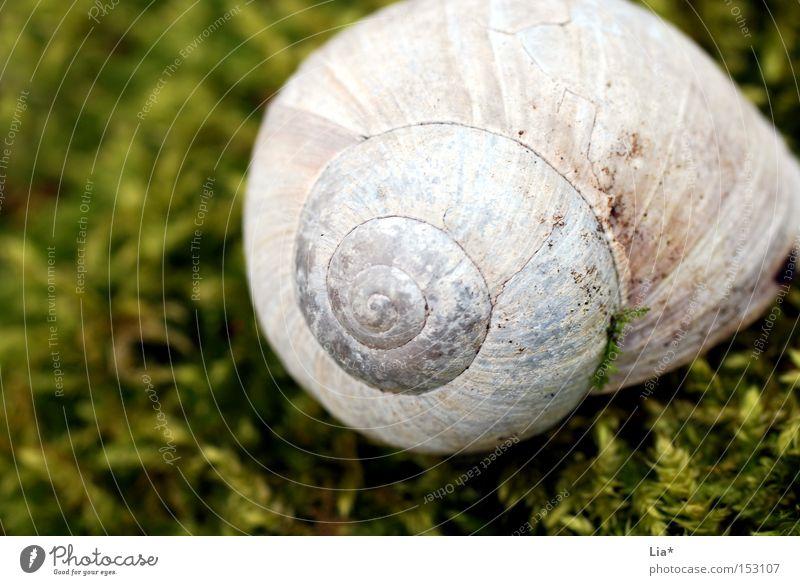Schneckenhaus im Moos Haus Weinbergschnecken grün Märchenwald ruhig Makroaufnahme Detailaufnahme Natur Spirale finden Fundstück Nahaufnahme Park fund