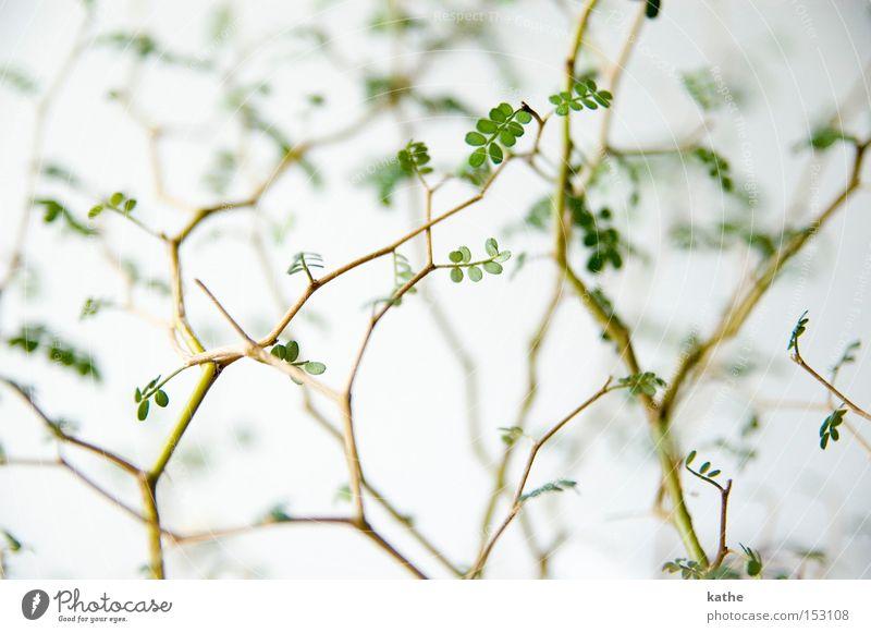 Gschtrüp Himmel Natur Pflanze grün Holz trist Sträucher Ast Zweig Wüste Biologie karg