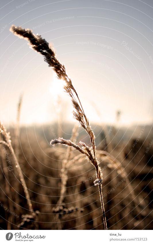 vereist Winter Eis Frost Gras Halm Sonne Himmel kalt Wind Licht Beleuchtung Natur Gradhalm Schnee