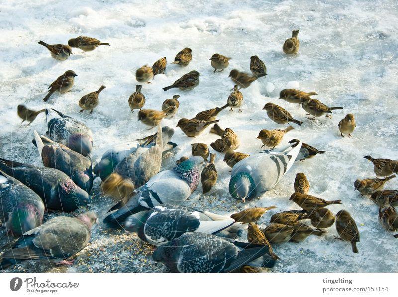 futterneid Winter kalt Schnee Vogel Eis mehrere Tiergruppe Boden viele Fressen Taube Futter Spatz picken