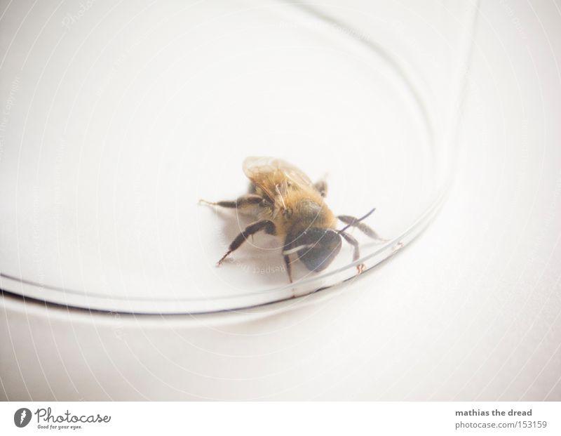 GROßWILDJÄGER Blume Sommer klein Glas gefährlich Frieden Flügel Insekt Fell Biene Lebewesen gefangen Fühler Honig friedlich