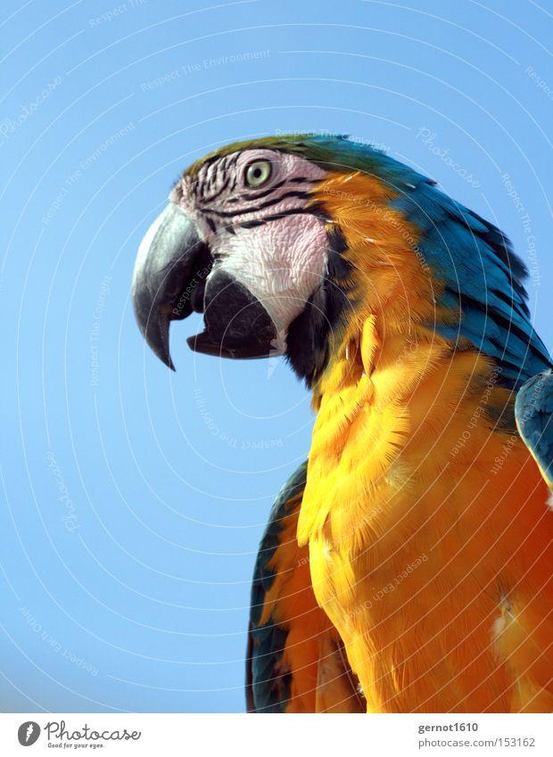 Beisser 2 elegant exotisch Sommer sprechen Tier Haustier Wildtier Vogel Tiergesicht 1 klug blau gelb schwarz Papageienvogel Schnabel gelehrt Auge Feder