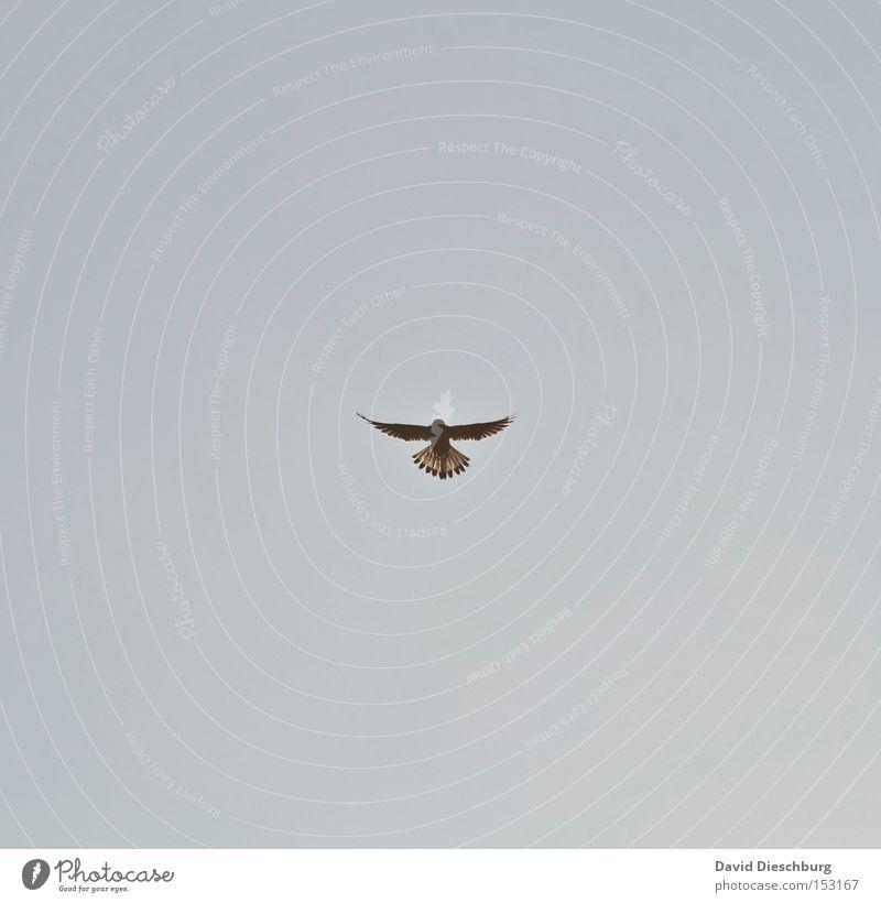 Angriffsposition Himmel Vogel fliegen Luftverkehr Feder Flügel Jagd Schnabel Symmetrie Himmelskörper & Weltall gleiten Fleischfresser Falken Greifvogel