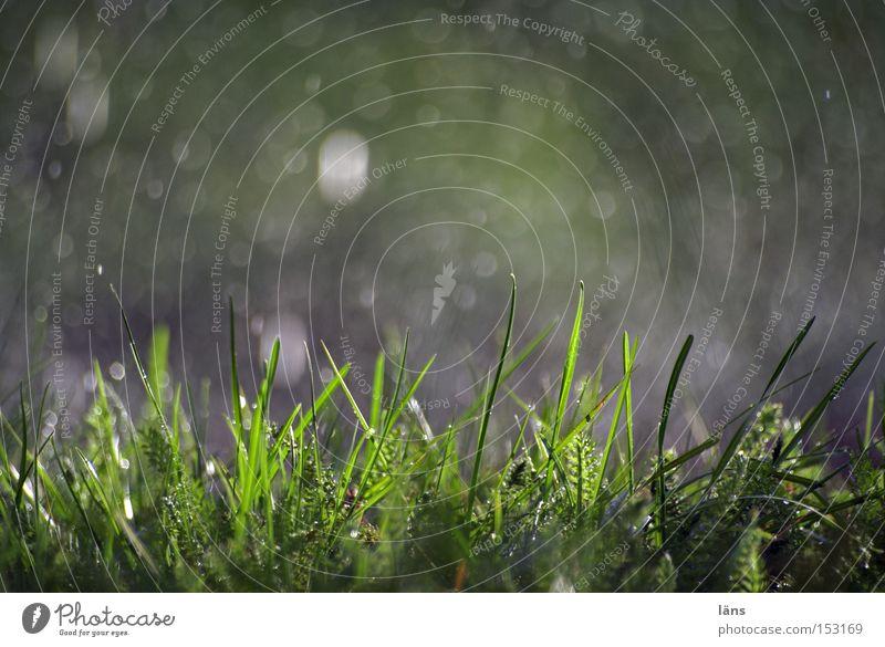 Regenfall Farbfoto Außenaufnahme Textfreiraum oben Tag Schatten Kontrast Silhouette Natur Pflanze Wassertropfen Wetter Gras Wiese glänzend nass grün Wasserfleck