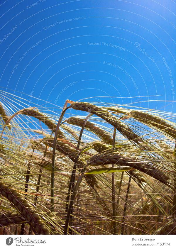 Sommerroggen Natur blau Wiese Wärme Gras Gesundheit Feld Lebensmittel Ernährung Landwirtschaft Getreide trocken Weide Appetit & Hunger Korn