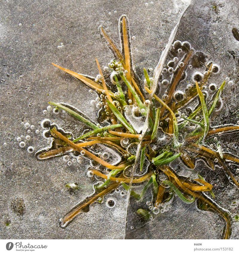 Eissprung Pflanze Winter kalt Gras Frost gefroren Blase frieren Halm Luftblase Pfütze Untergrund welk eingeschlossen grün-gelb