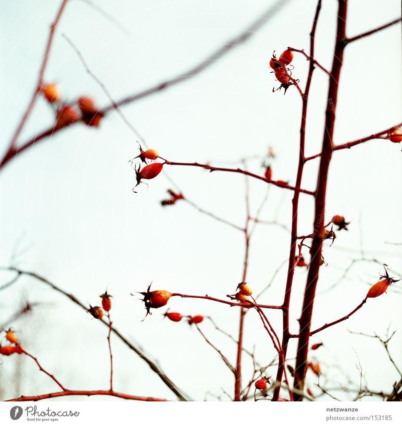Stille ruhig Hagebutten Sträucher Zweig Himmel Frucht