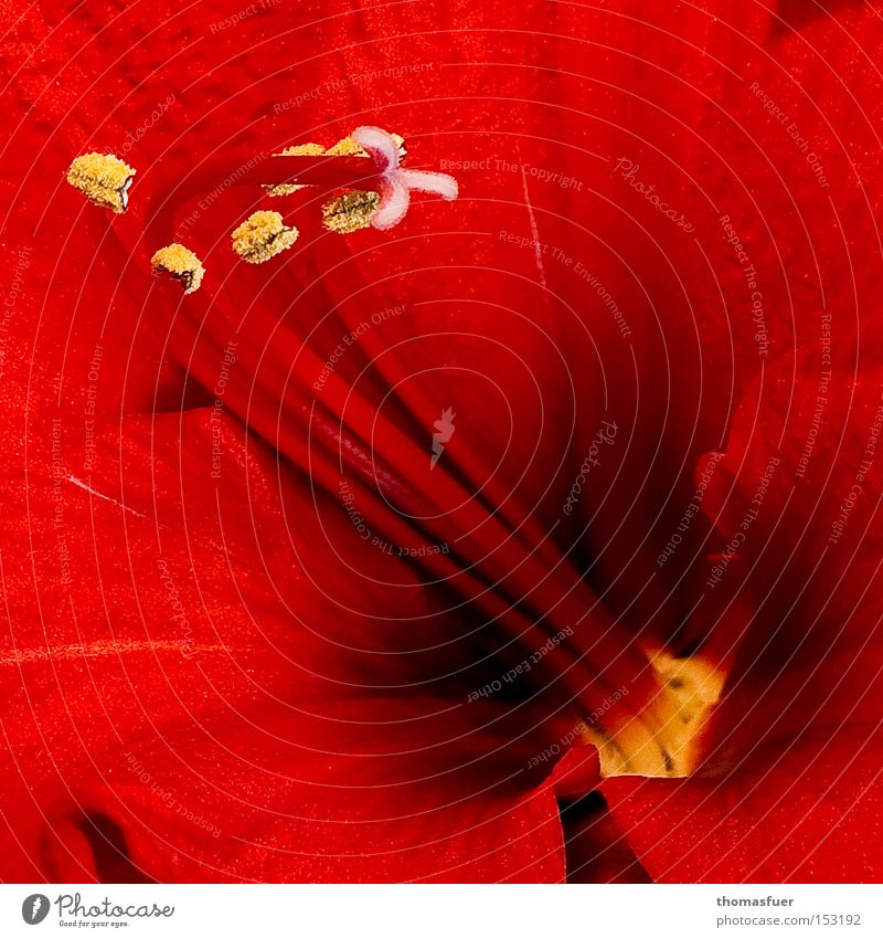 Rot schön Blume rot Winter Blüte Samen Januar Blütenkelch Amaryllisgewächse Knollengewächse
