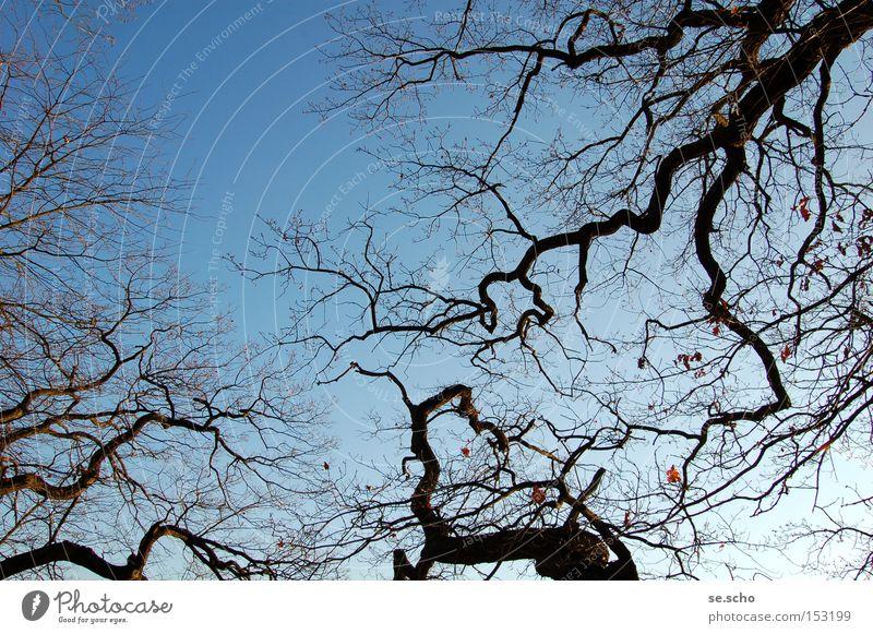 Winterbäume Himmel Baum blau Winter kalt Ast Zweig verzweigt