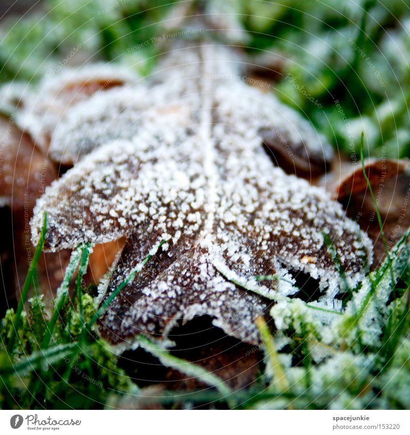 Laub Blatt Frost Winter kalt Verfall Raureif Schnee Rasen