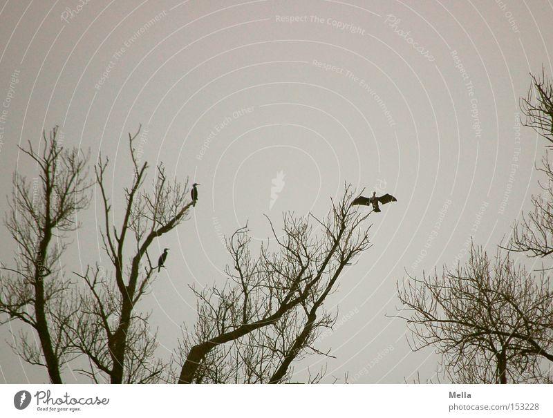 Trockenübungen Natur Baum Tier grau Vogel Umwelt sitzen trist Flügel natürlich Baumkrone Geäst trocknen hocken ausbreiten Kormoran