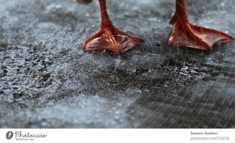 Watschelfüße kalt Fuß Beine Vogel Eis orange Erde fliegen Tierfuß nass stehen Bodenbelag frieren Ente Braten