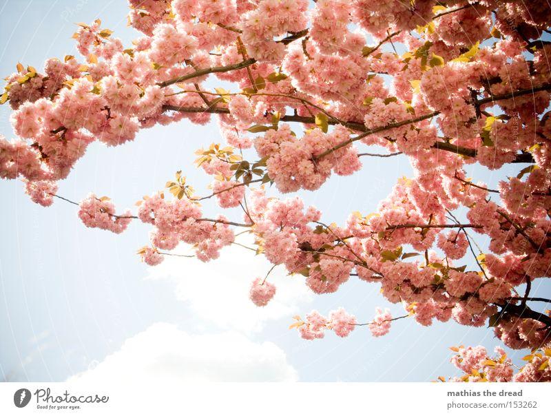 VORFREUDE IST ... Blüte Kirsche Ast Zweig Sommer Frühling schön Wetter Himmel blau Idylle Erholung Natur Paradies rosa