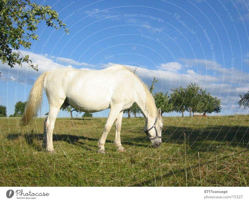 Schimmel Himmel blau weiß Baum Frühling Wiese Feld groß Pferd Weide Fressen Märchen Stolz Schimmelpilze Urin Ausscheidungen