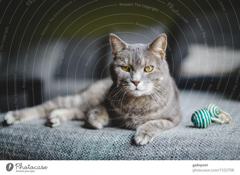 04_Katze, pardon Kater auf Sofa Tier Haustier Nutztier 1 beobachten liegen glänzend kuschlig Neugier weich grau Glück Lebensfreude Kraft Willensstärke