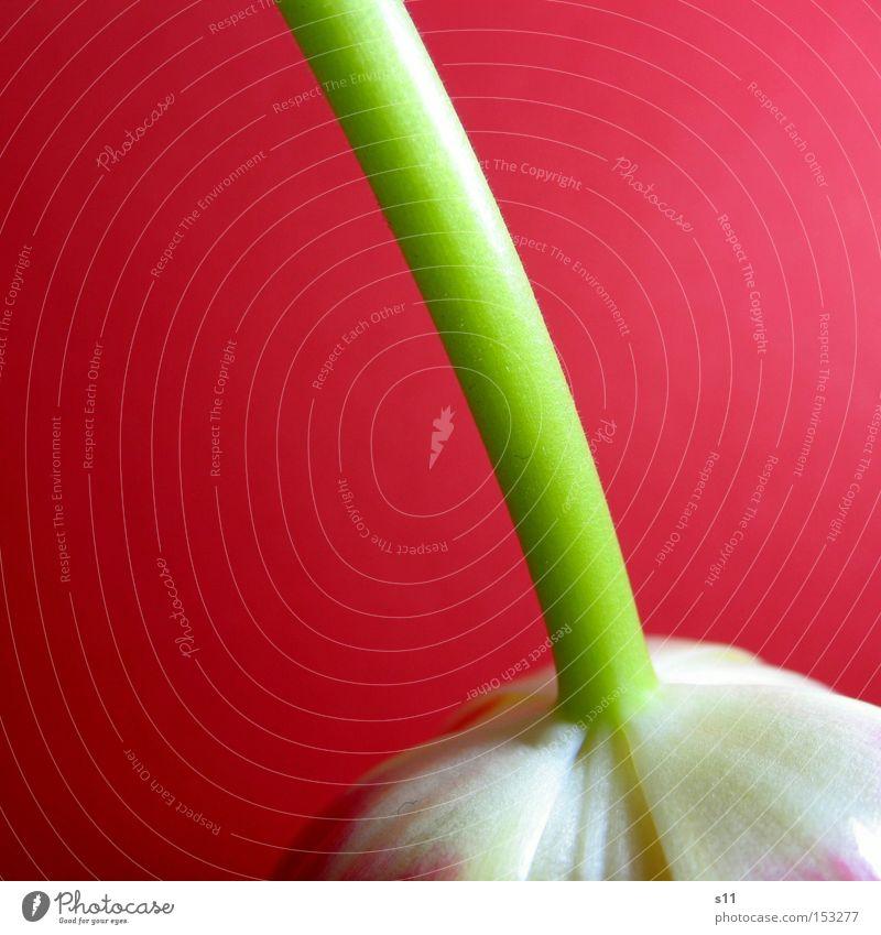 Tulipa Pink Natur Pflanze Blume Frühling rosa Dekoration & Verzierung Stengel drehen hängen Tulpe verkehrt