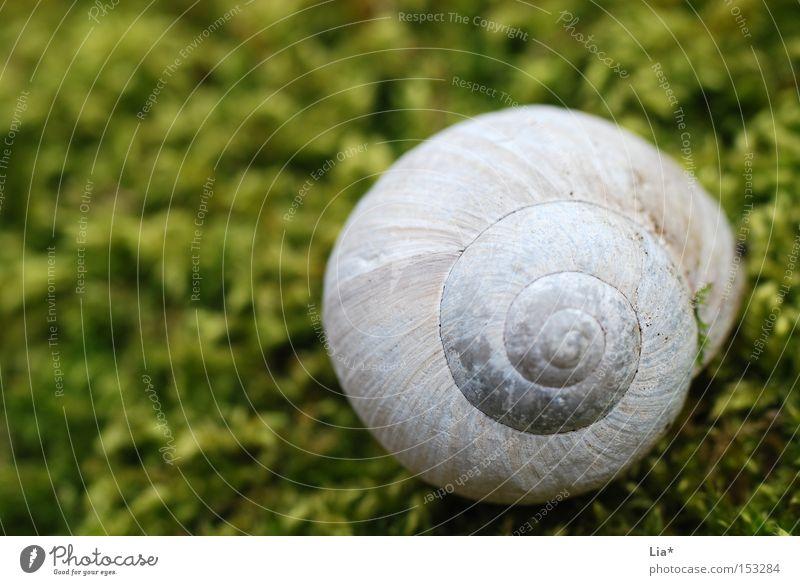 Im Moos nix los Schneckenhaus Haus Weinbergschnecken grün Märchenwald ruhig Makroaufnahme Detailaufnahme Natur Spirale finden Fundstück Nahaufnahme