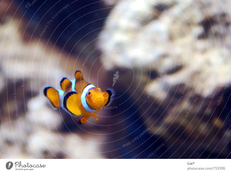 Dori? Wasser Fisch Aquarium klein Einsamkeit Findet Nemo Clownfisch schmollen Farbfoto Textfreiraum oben Schwache Tiefenschärfe Textfreiraum rechts 1