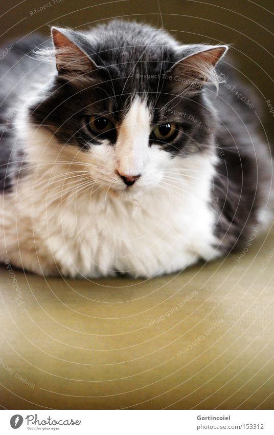 Prens schön weiß Auge Tier grau Katze elegant ästhetisch weich Tiergesicht Sofa zart Fell sanft edel Haustier
