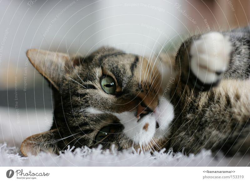 Schmusekater Katze Hauskatze Haustier Fell Schmatz Pfote liegen Teppich Nase Kuscheln Katzenbaby Säugetier Frieden