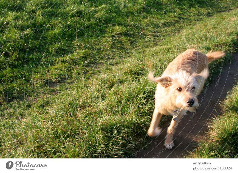 Kommt ein Hund um die Ecke Wiese Rasen Wege & Pfade Schnauze Ohr Pfote Rhein Düsseldorf Schwung laufen springen Sommer Herbst grün Freude Tier Straßenhund