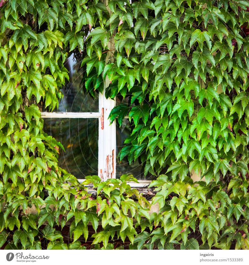 Blick ins Grüne Haus Traumhaus Renovieren Dekoration & Verzierung Pflanze Wilder Wein Blatt Gebäude Fassade Fenster Fensterrahmen rustikal Wachstum alt