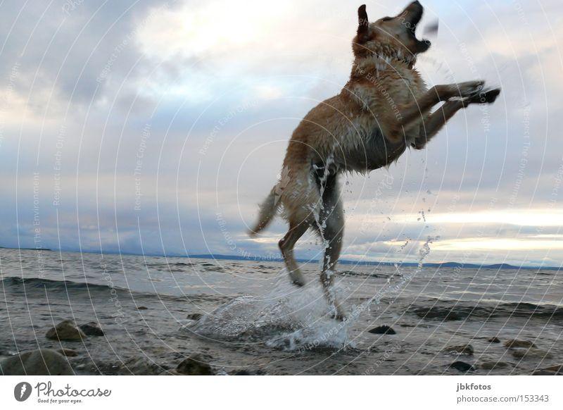 HAPPY JUMP Hund springen Wasser Stein Himmel Wolken Tier Haustier Wellen spritzen Sonnenuntergang Ferien & Urlaub & Reisen Sommer Schwimmen & Baden Freude