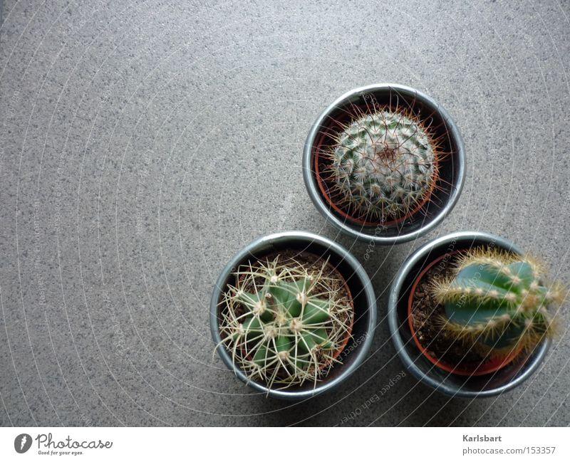 triangulum. Wohnung Pflanze Erde Sand Kaktus Topfpflanze exotisch Wüste Boden Bodenbelag Fliesen u. Kacheln Stein Zeichen Ziffern & Zahlen grau Leben gefährlich