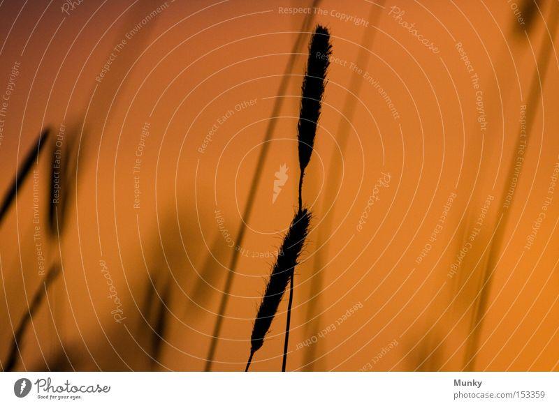 Schräglage Gras Ehre Sonnenuntergang Licht Schatten Silhouette Unschärfe orange schwarz Wiese Ehren