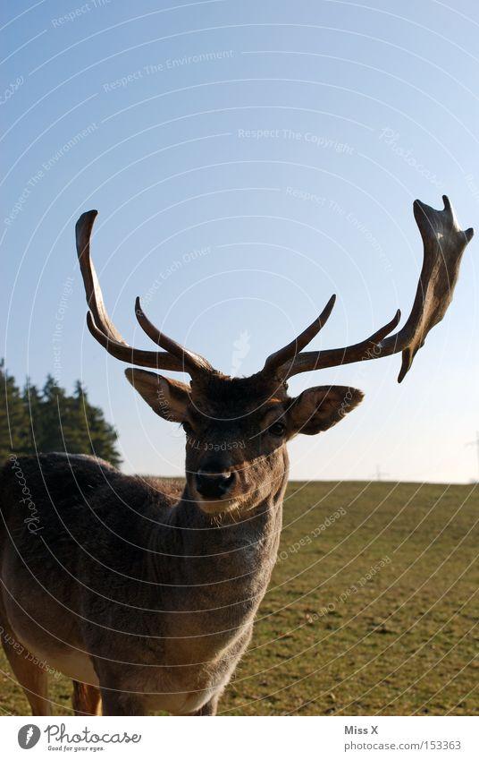 und täglich grüßt der Hirsch Farbfoto Außenaufnahme Winter Tier Wiese Wildtier grün Hirsche Reh Rentier Horn Säugetier Rudi Tag