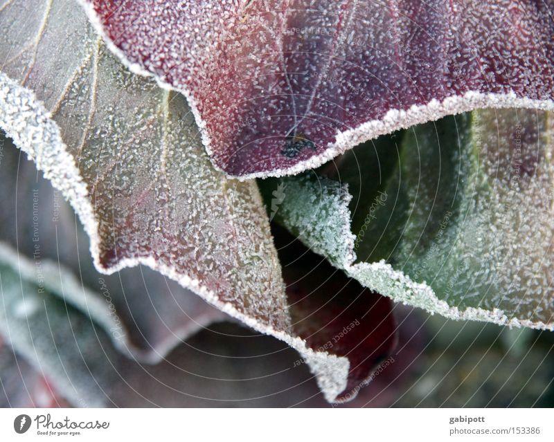 Winterlaub Gedeckte Farben Außenaufnahme Nahaufnahme Makroaufnahme Häusliches Leben Wohnung Natur Landschaft Pflanze Eis Frost Blume Blatt Grünpflanze