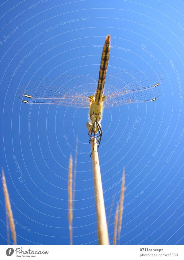 Großlibelle Startklar Himmel Luft fliegen Beginn Flügel Insekt Halm Libelle